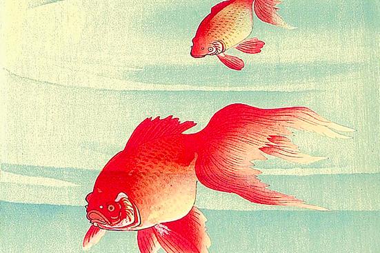 Frotte di pesci rossi